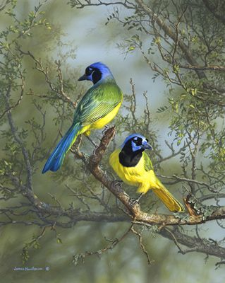 On Jim Hautman's recent trip to south Texas he saw his first green jays. Here is the painting that resulted from that encounter.
