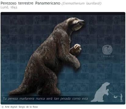 Megafauna de México: Perezoso Panamericano, Desapareció hace 10,000 años. Su pariente vivo más cercano es:El perezoso de dos dedos