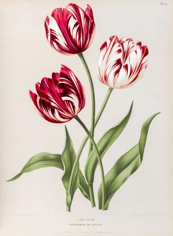 Tulip print. Botanical print. Botanical art. Flower print Wall art print Vintage botanical prints Tulip Flower illustration print Red tulips