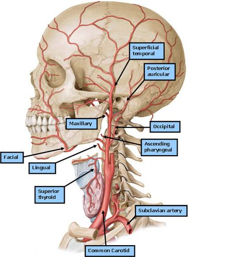 anatomy h&n 2 - deep neck flashcards | quizlet | anatomy, Muscles