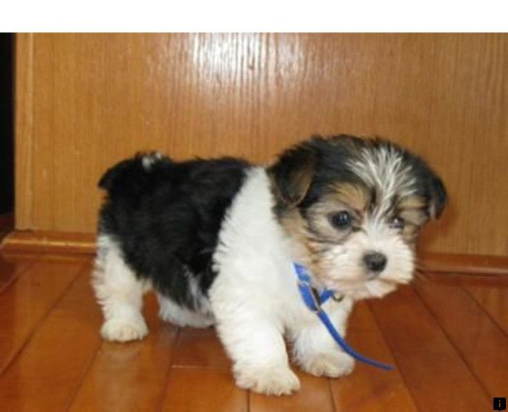 Want To Know More About Teddy Bear Puppies Simply Click Here For
