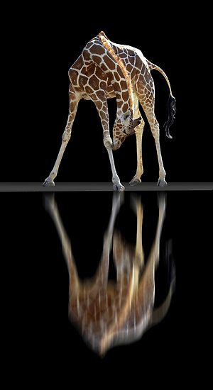 by peter holme III amazing giraffe photo http://thewildanimalstore.com/category_jungle_animals/JUN_J0002_Giraffe.htm
