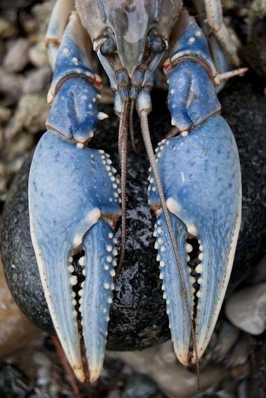 Blue  #Lobster