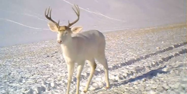 Have you ever seen a deer shed its antlers? How about an albino one? Watch this amazing video as an albino deer sheds antlers.