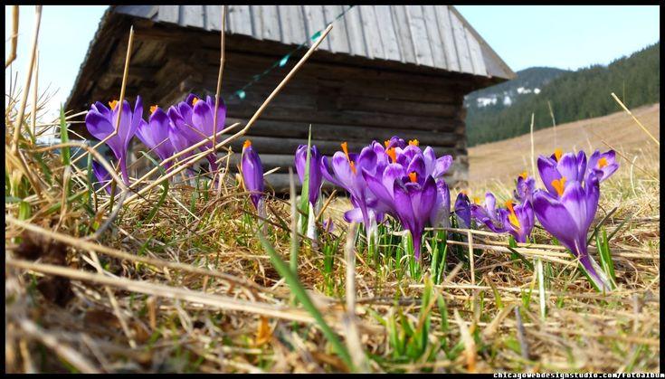 wiosenne krokusy na  Polanie Chocholowskiej w Tatrach