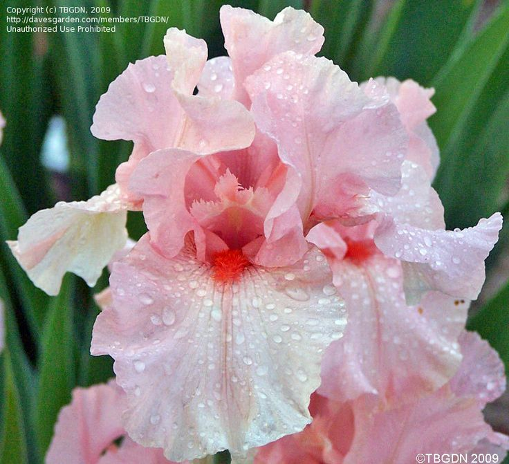 "Border Bearded Iris 'Lenora Pearl' - This reblooming iris is such a beautiful pale pink - and the bright tangerine beard really makes the flower! I've never grown bearded iris, but I've been looking at this one in the catalogs for about three years now wondering where I could put it! It's classified as a Border Iris and listed as growing about 24"" tall so it's a little shorter than Tall Bearded Iris."