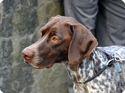 How to Train a German Shorthaired Pointer- a few great tidbits
