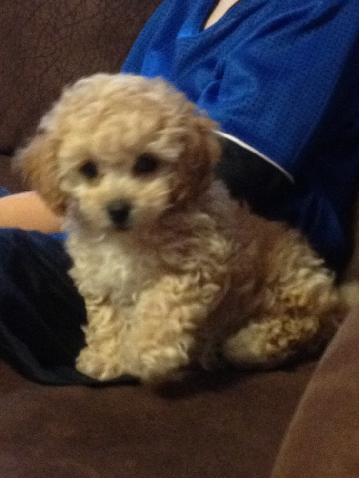 7 week old tiny toy poodle name Ronix | Puppy power | Pinterest