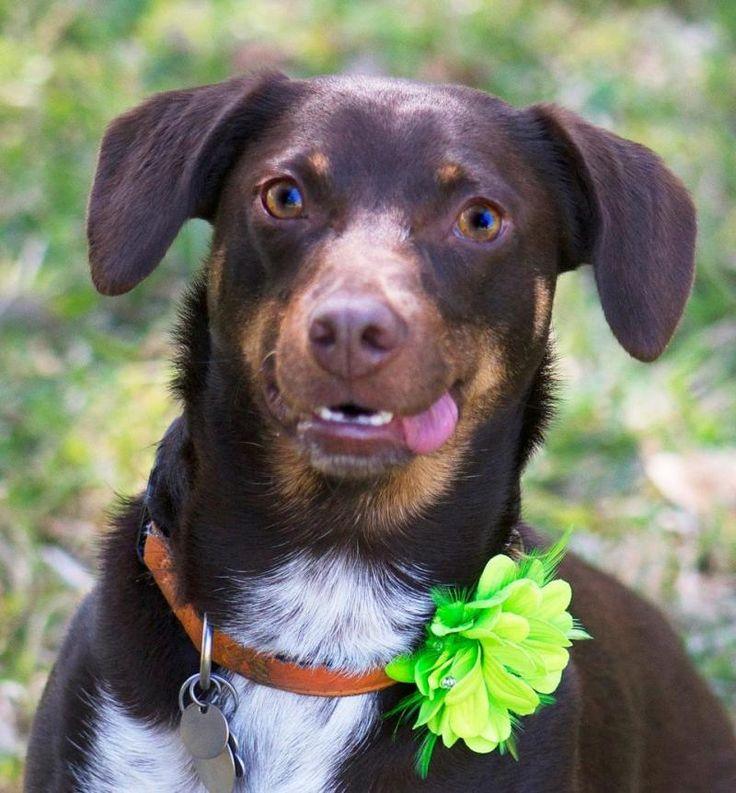 Adopt Lucy on Petfinder Pet adoption, German shorthair, Dogs