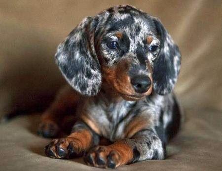 Long-haired, silver, dapple dachshund.