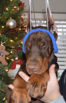 Doberman Pinscher puppy for sale in POCONO SUMMIT, PA. ADN