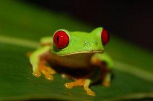 Hongo está extinguiendo numerosas especies de ranas en América Central.