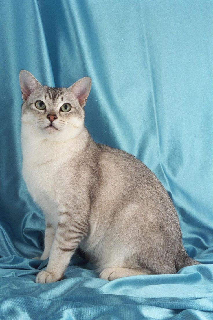 ... fold siamese sphynx cats turkish van back cat breeds photogallery home - #cat - Different Cat Breeds at Catsincare.com!