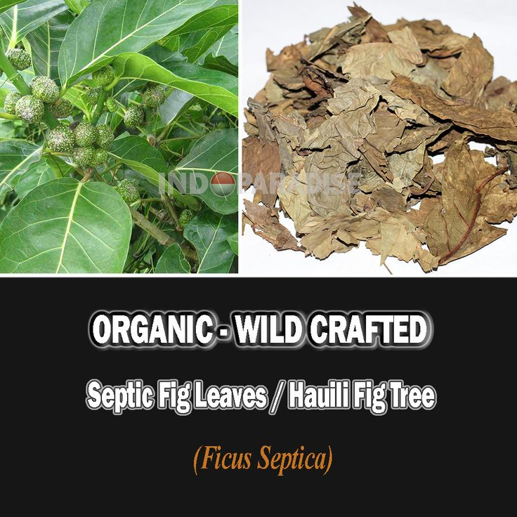 Herpes, Anti bacteria, Food poisoning (from fish, crabs and some tubers), Vomiting, Nausea, Warts and other skin diseases, Against cancer cells, Appendicitis, Snake bites, Swelling, Headache, Overcoming ulcers, Rheumatism, Shortness of breath (asthma), etc #FicusSeptica #driedherbs #herbalremedies #herbaltea #tea