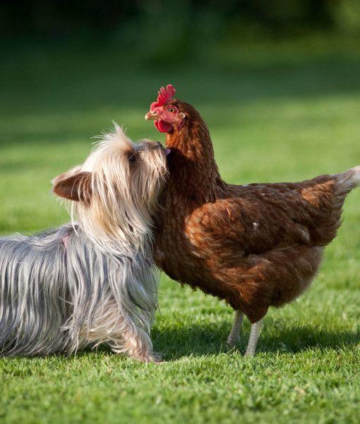 pollo divertido yorkie