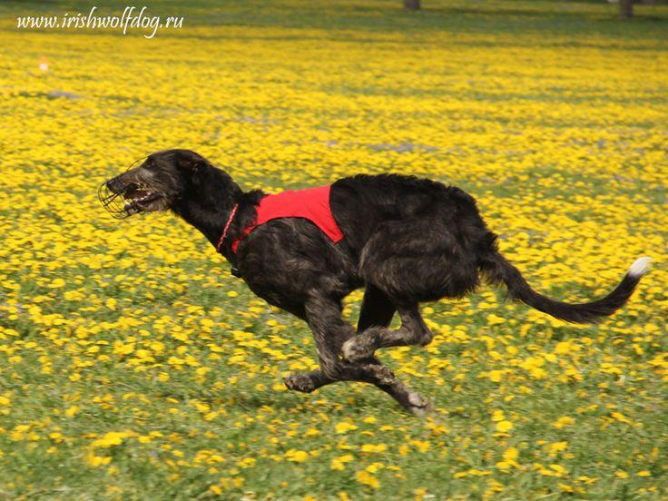 Ирландский волкодав Царская Прихоть Иона Irish Wolfhound