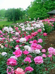 Güzel çiçekler ve güller