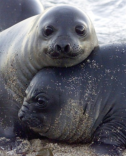 One-month-old southern elephant seal pups rest on the Punta Delgada beach of the Valdes Peninsula in Argentina's Patagonia region, October 28, 2001. The Valdes Peninsula is home to one of the world's only permanent continental colonies of this species, with the rest on islands near Antarctica. The population swells to more than 40,000 in the season from August through November when the herds gather on the beaches to give birth and mate again before heading back out to sea