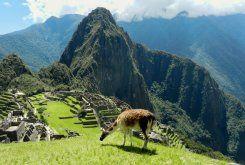 Llama grazing in front of Machu Picchu #activeadventures.com Marian Walrath, 'Jaguar', April 2013