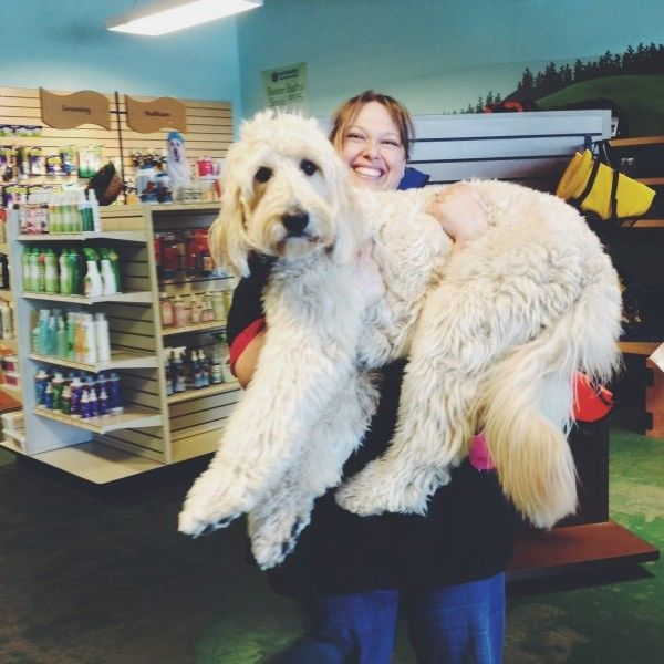 Haircuts For Goldendoodles Pictures: Best 25+ Standard Goldendoodle Ideas On Pinterest