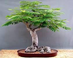 bonsai araucaria