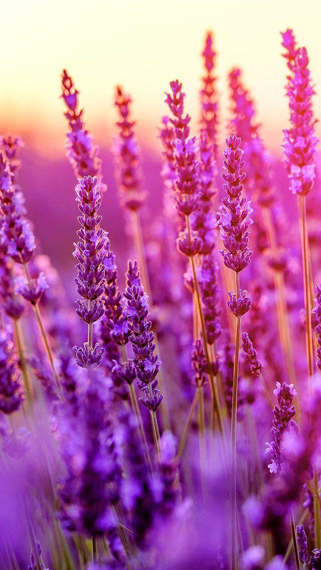 Flowers Lavender Wallpapers Hdqwalls Com Flowers Floral Wallpaper Lavender Flowers