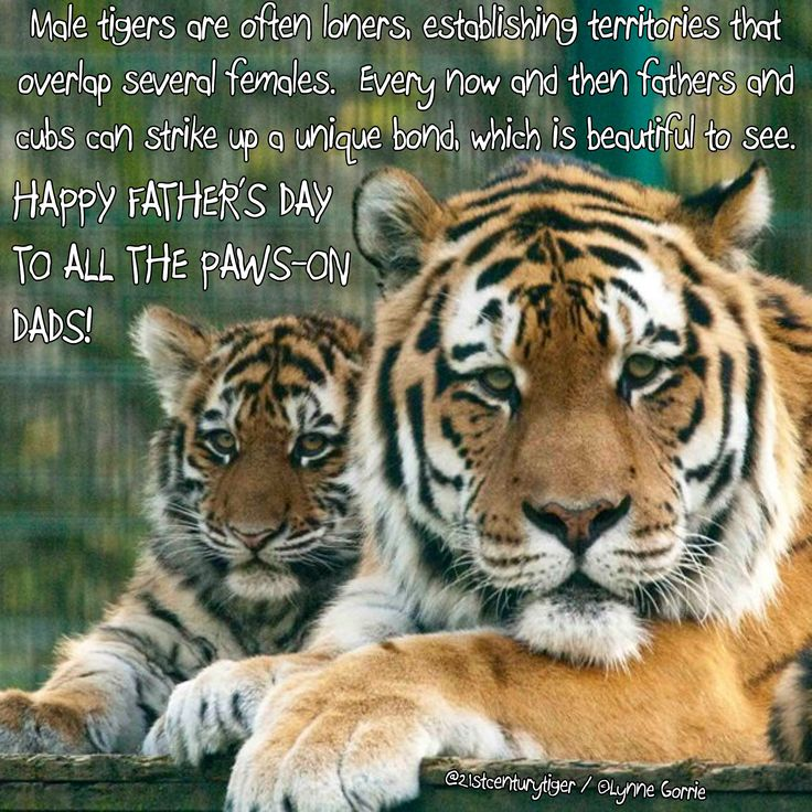 1000+ images about Father's Day tigers on Pinterest | Dads ...