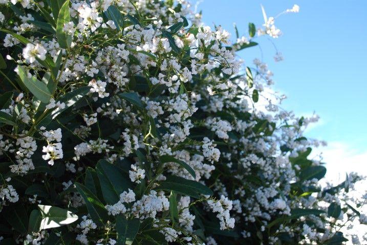 Hardenbergia Edna Walling Snow White --- For more Australian native plants visit austraflora.com