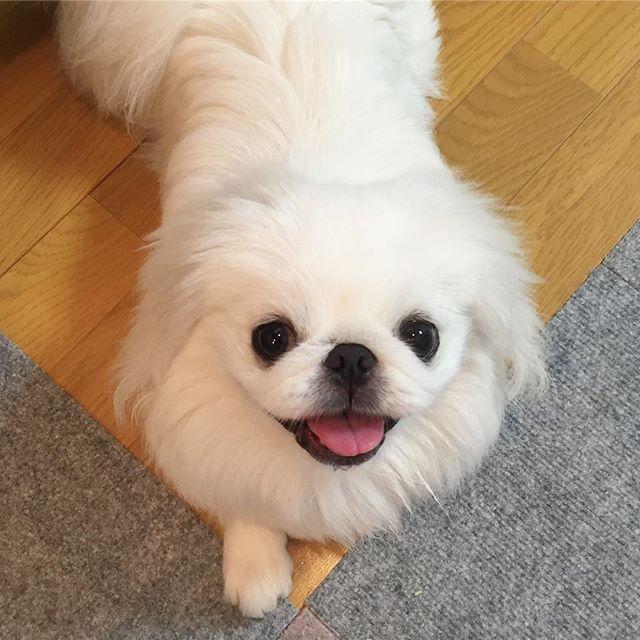 ・ お勤めご苦労様です💕💕💕 お仕事頑張ったね😆✌️ ⑅∙˚⋆⑅∙˚⋆⑅∙˚⋆⑅∙˚⋆⑅∙˚⋆⑅∙˚⋆ #puppy #pup #ペキニーズ #ペキスタグラム #페키니즈 #犬 #鼻ぺちゃ #dog #白ペキ #cute #愛犬 #pet #pets #instadog #animals #petstagram #instagramdogs #dogstagram #癒しわんこ #犬バカ部  #ilovemydog #pekingese #dogs_of_instagram #doglover #tokyo #love #pekestagram #follow #instagood #adorable