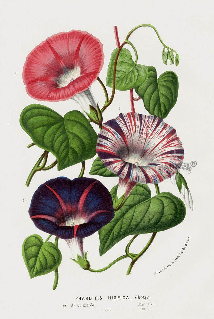 1845 Louis Van Houtte Botanical Prints Tulip, Peony, Camellia, Magnolia