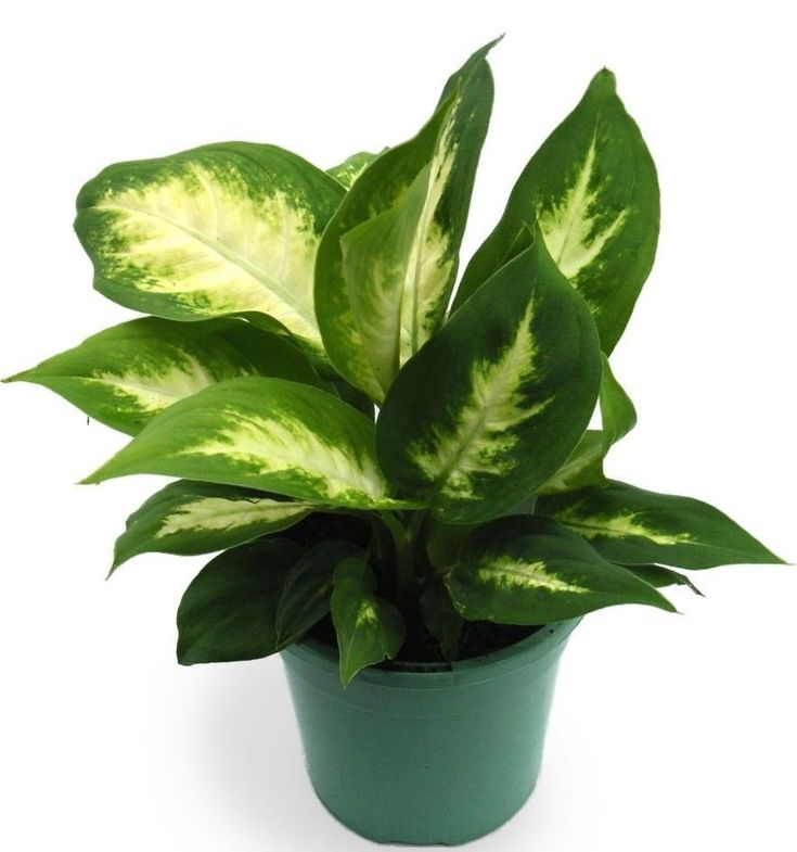 Diefembaquia Dieffenbachia Maculata 1000 Plant Care Houseplant Easy House Plants Plants