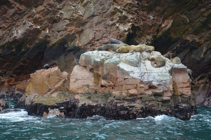 Leoni marini, isole Ballestas, #Perù