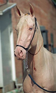 The Akhal-Teke typically stands between 14.2 and 16 hands (58 and 64 inches, 147 and 163 cm). These horses are famous for those individuals who have a golden buckskin or palomino color with a distinctive metallic sheen.