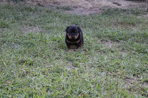 Litter of 3 Rottweiler puppies for sale in PRIMM SPRINGS, TN. ADN-44626 on PuppyFinder.com Gender: Male. Age: 4 Weeks Old