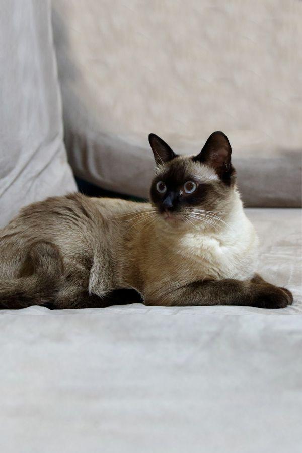 Burmese Cat Breeds Cat Breeds Burmese Cat Cat Breeds Siamese