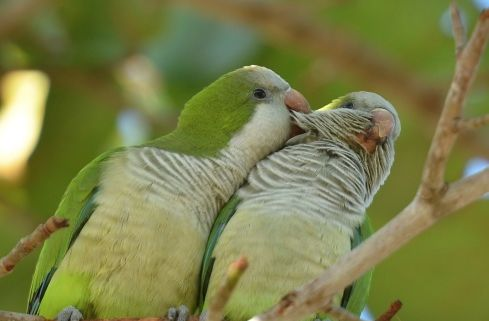 46 Best Quaker Parrot Food And Care Images On Pinterest Pet Birds