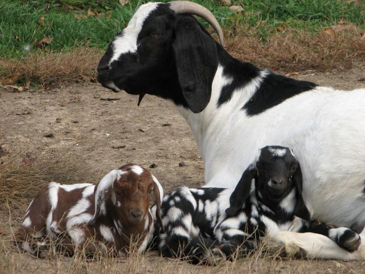 Spotted goats