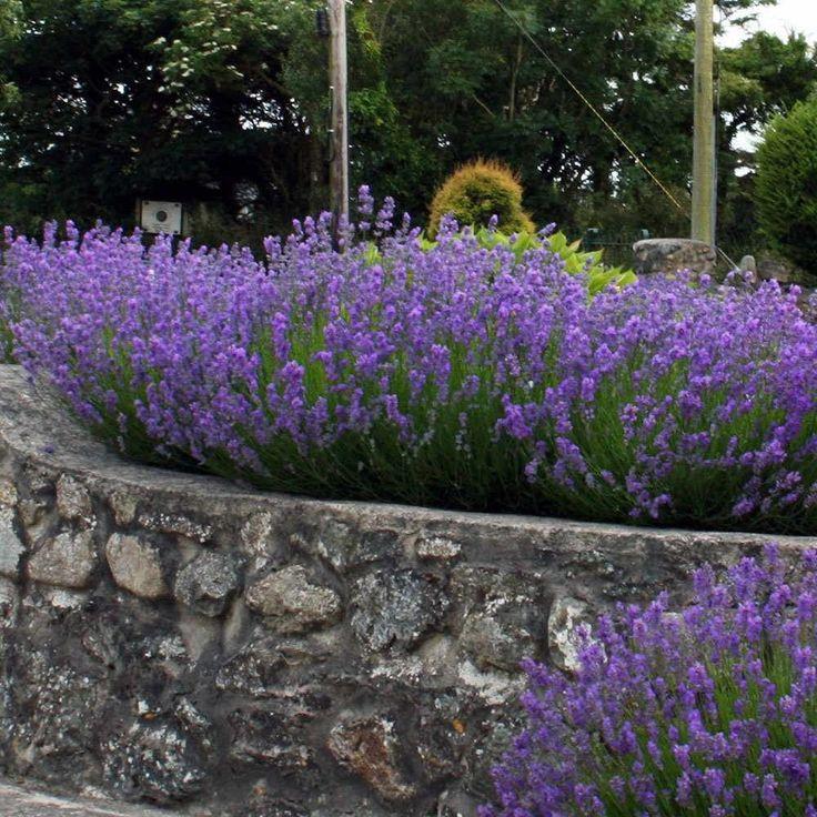 English Lavender Hedge Plants | Lavandula Angustifolia Munstead Hedging
