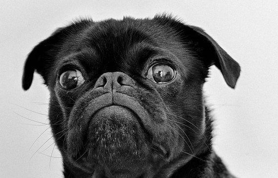 Cute Pug Print Printable Art Digital Print Dog Print Cute Pug