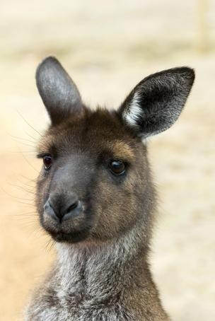 Portrait of a kangaroo. #Kangaroo Island #Australia