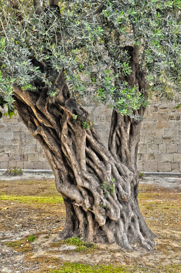 olive tree steen og strøm