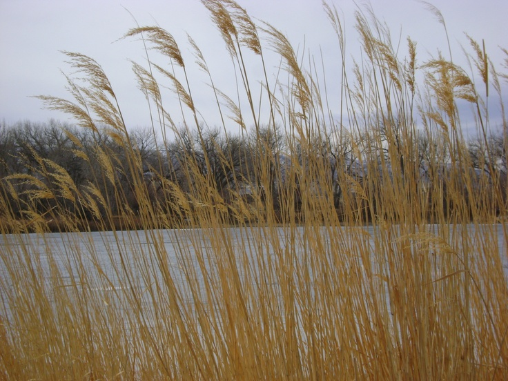 grasses near the duck pondCasper Wyoming, Ducks Ponds