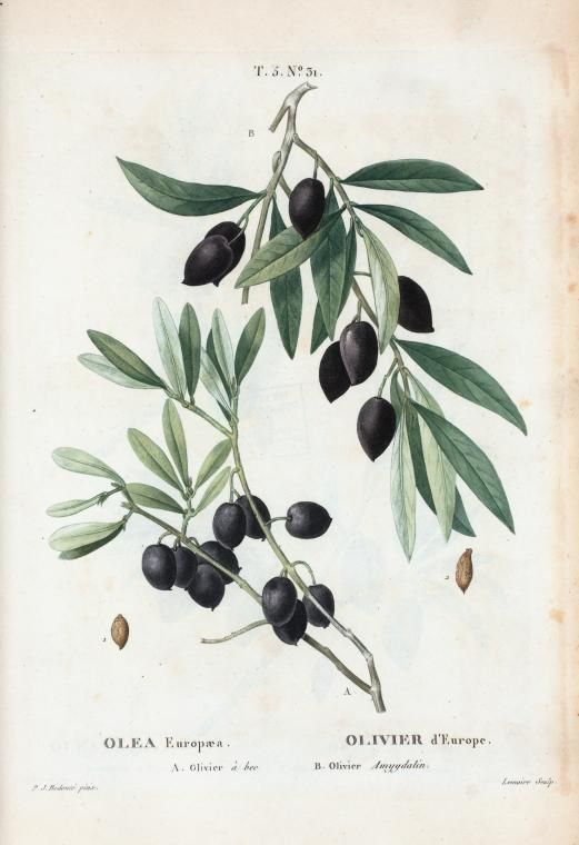 Olea Europæa = Olivier d'Europe. A. Olivier à bee. B. Olivier Amygdalin. From New York Public Library Digital Collections.