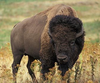 Bison - yes they really do live in Golden Gate Park