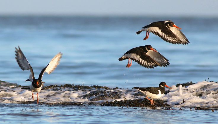 Oyster Catchers enjoying the sunshine in Robin Hood's Bay. #northyorkmoors Photo by Paul Harris