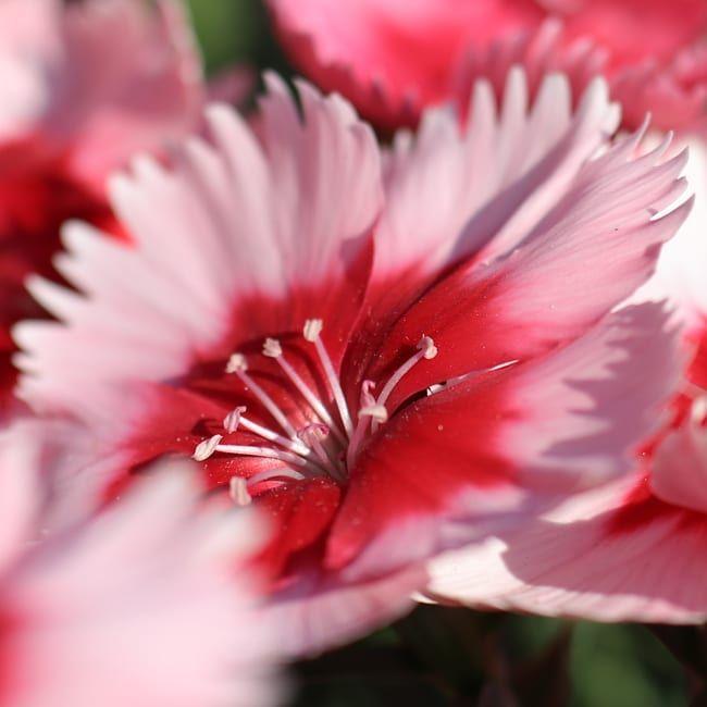 #nelke #carnation #flowers #blumen #flowerphotography