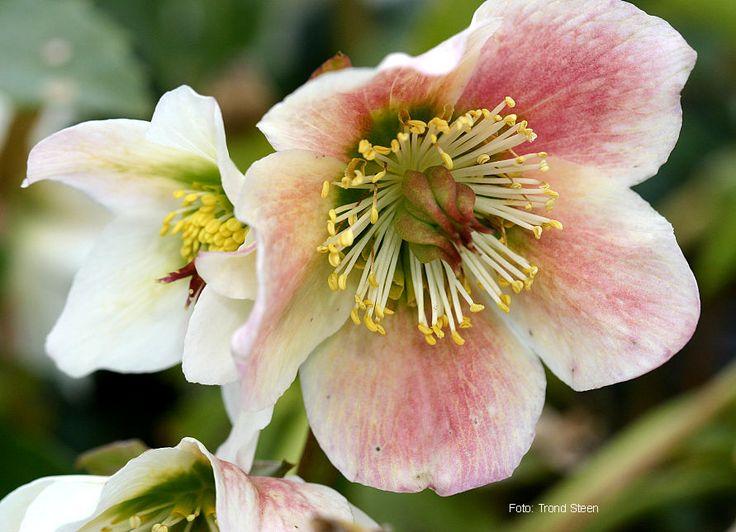 https://gardencoachpictures.files.wordpress.com/2011/03/132-helleborus-niger-3.jpg