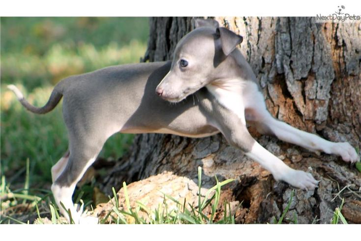 Meet TAZ a cute Italian Greyhound puppy for sale for $700. TAZZIE