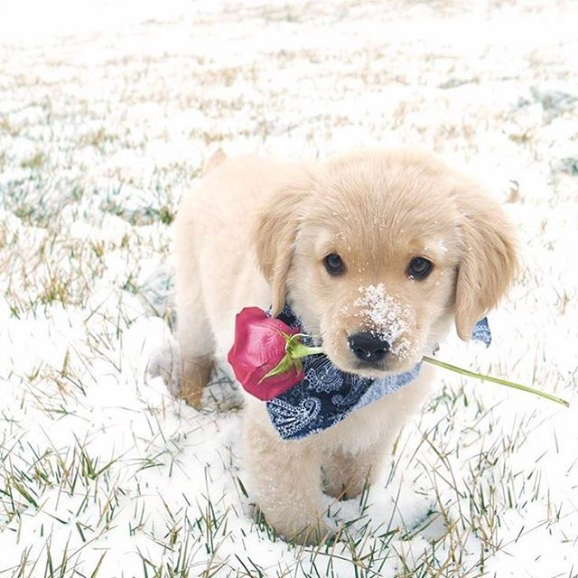 "14.2k Likes, 338 Comments - Puppies of Instagram (@puppiesofinstagram) on Instagram: ""YES I WILL BE YOURS #valentinesday . @pazzopup"""