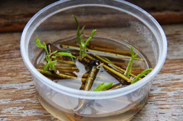 Pour favoriser une reprise vigoureuse de vos boutures de plantes, trempez-les, jusqu'à apparition des racines, dans un macérat de saule. Il suffit de couper de jeunes rameaux de saule osier en tronçons d'un demi-centimètre, de les mettre à macérer pendant 4 heures dans de l'eau de pluie et de filtrer ensuite pour obtenir cette potion magique. Cette « eau de saule » est en effet une hormone de bouturage naturelle très efficace : l'acide acétylsalicylique qui se trouve naturellement dans…